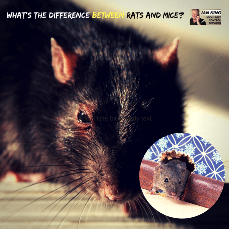 What's The Difference Between Rats and Mice