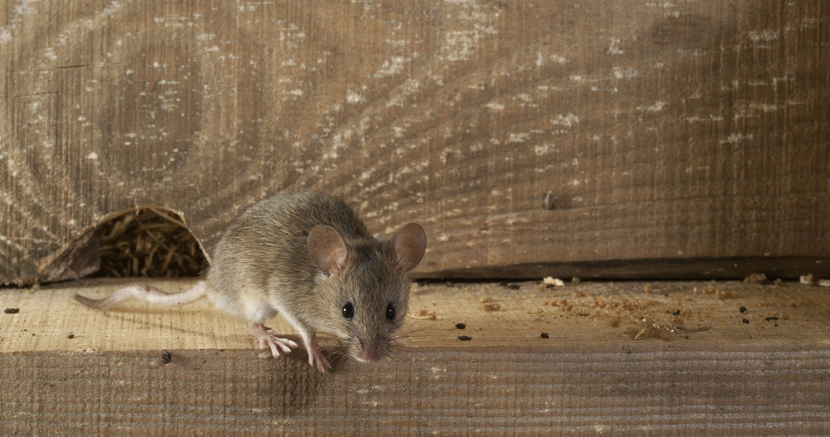 HOW TO SPOT MICE IN YOUR HOME -
